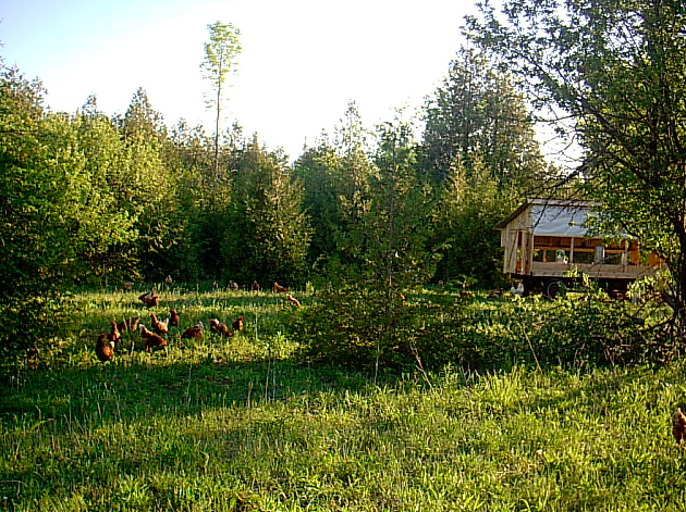 Portable chicken shelter out in the field on the edge of the woods